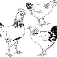 Thumbnail image for Hens And Rooster