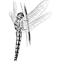 Thumbnail image for Resting Dragonfly