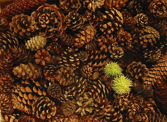 Lots of Pinecones