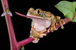 Fly-Catching Frog