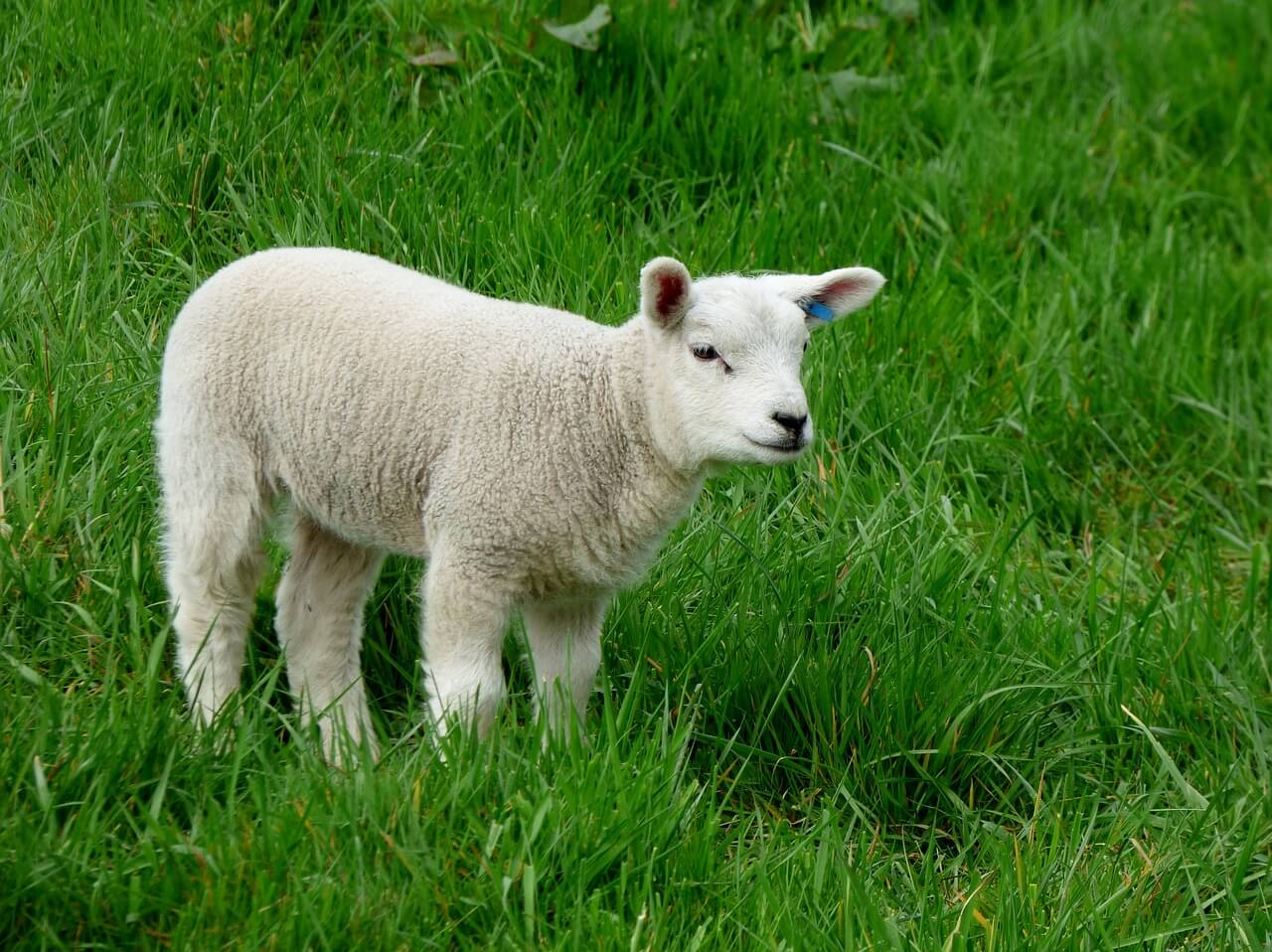 Tin Can Lamb