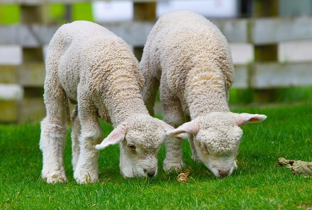 Lambs and Shepherds: Old Testament