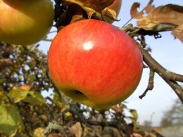 Apple on Apple Tree