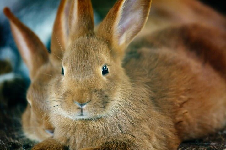 Bunny with Long Ears