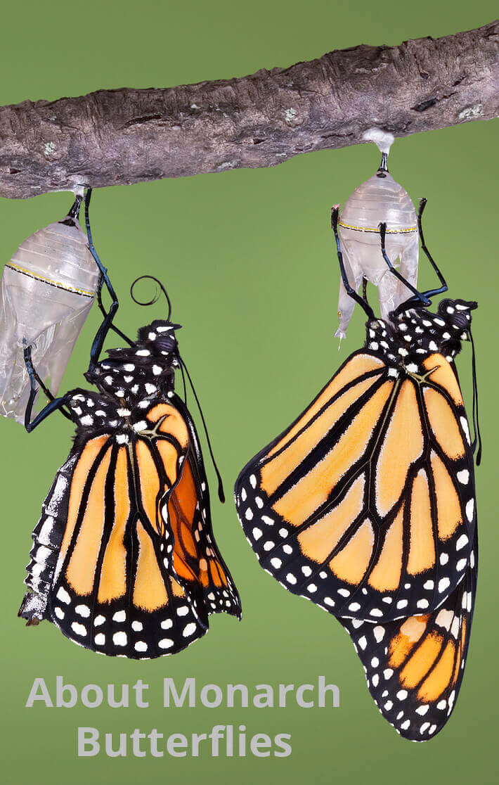 About Monarch Butterflies