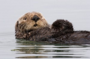 10 Facts About Sea Otters