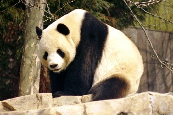 Giant Pandas are native to China.