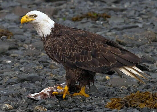 The Bald Eagle, Kodiak, Alaska