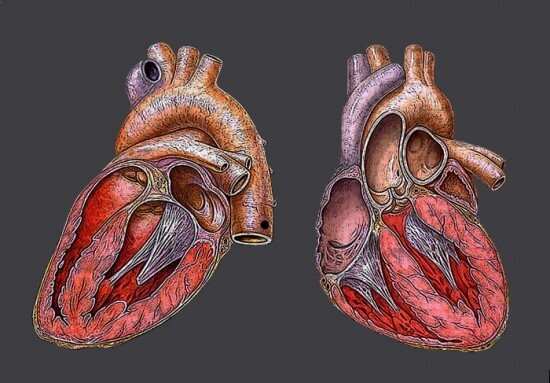 10 Amazing Facts About the Human Heart