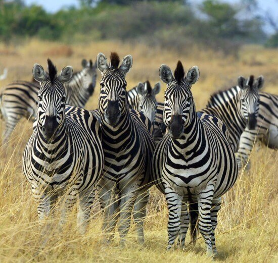 10 Facts About Zebras