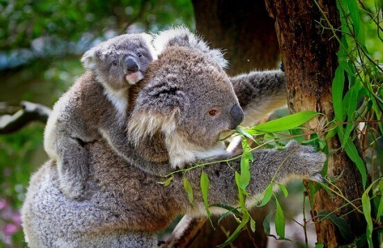 Thumbnail image for 10 Facts About Koalas