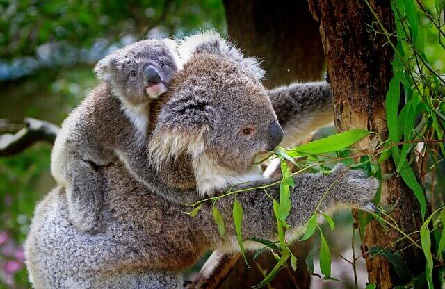 A mommy koala with her cub.