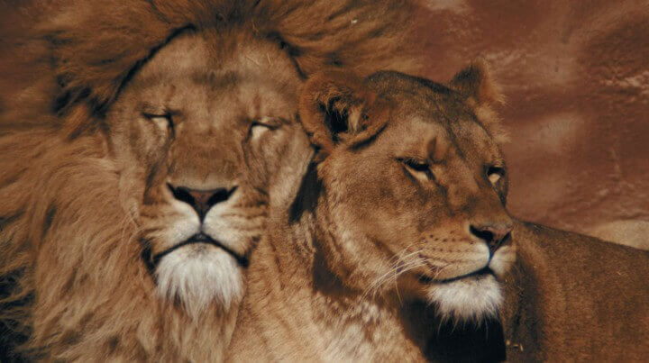 10 Facts about Lions
