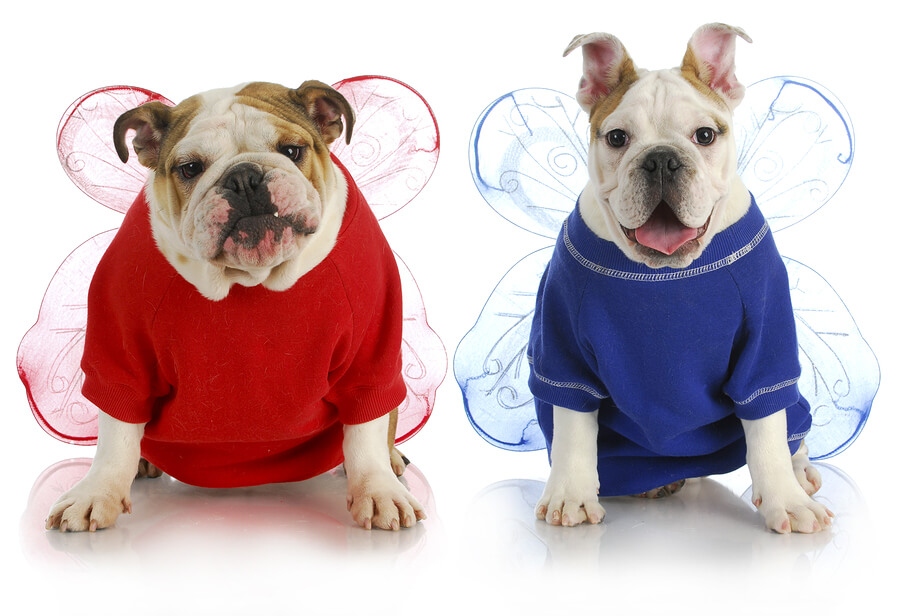 bigstock-dog-angels--two-english-bulld-28978757