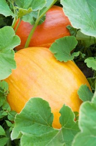 Thumbnail image for How to Grow Pumpkins for Halloween