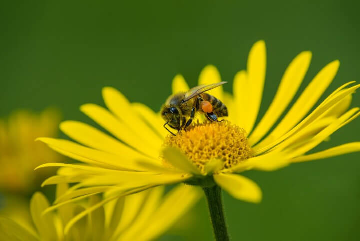 Honey Bee Pollinating Yellow D
