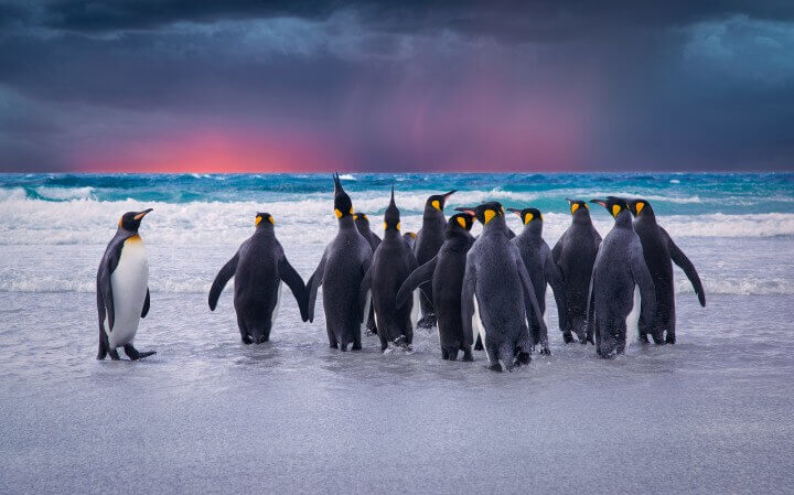 King Penguins In The Falkland