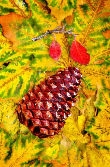 Pine Cone on Fall Leaves
