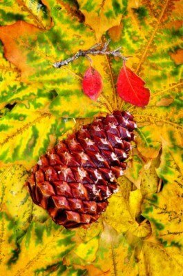Pine-cone-on-fall 550px