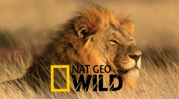 National Geographic: African Lions