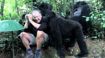 Touched by a Wild Mountain Gorilla